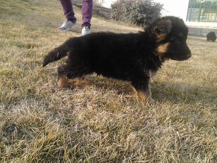 قیمت سگ ژرمن شپرد در شیراز